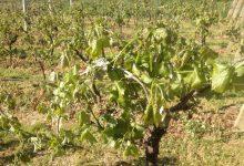 Gradska uprava: Prijavite štete od mraza na poljoprivrednim kulturama, vinogradima i voćnjacima